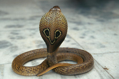 Indian or spectacled cobra.