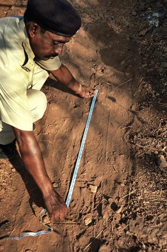 Ranger measuring leopard pug marks in Sanjay Gandhi National Park, Maharashtra.