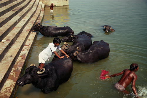 Buffalos taking a dip in the River Ganges. Varanasi, Uttar Pradesh.