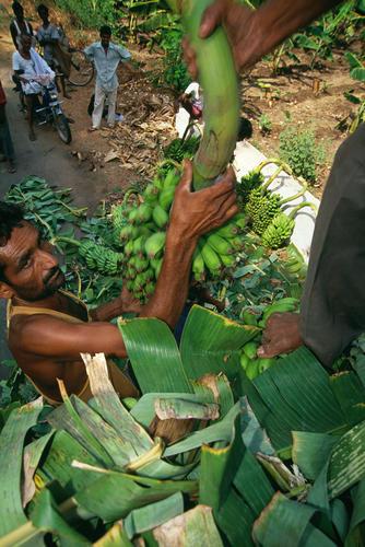 Man unloading bananas at Hampi, Karnatica.