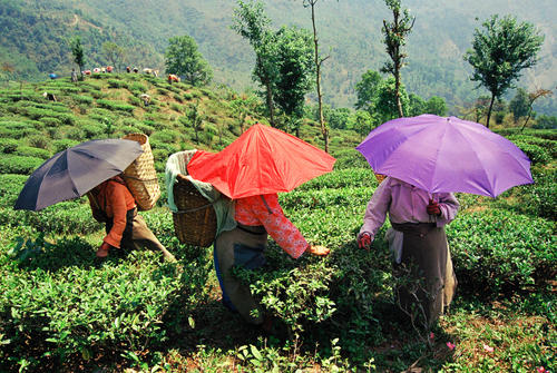 Tea pluckers at the Makaibari Tea Estate at Kurseong, West Bengal.