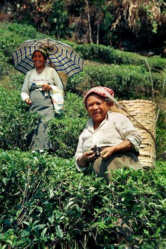 Tea pluckers at the Makaibari Tea Estate at Kurseong, West Bengal.