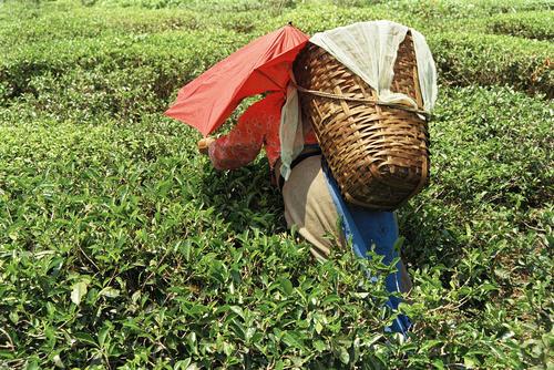Tea plucker at the Makaibari Tea Estate at Kurseong, West Bengal.