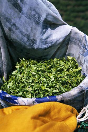 Freshly plucked tea leaves from a plantation in Darjeeling.