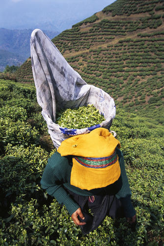 Tea plucker at a tea estate in Darjeeling.