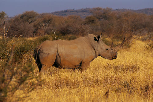 Black Rhinoceros in the Madikwe Game Reserve, South Africa.