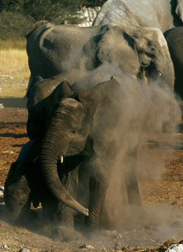 Elephants in the Etosha National Park, Namibia.