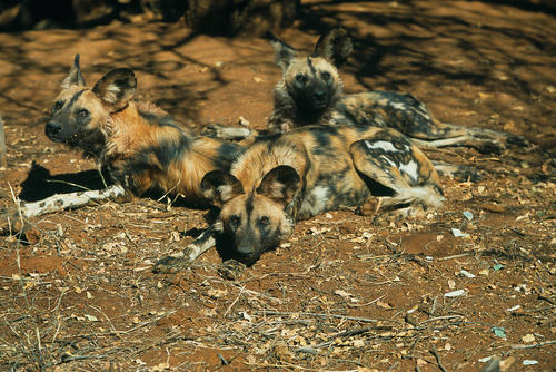 African wild dogs in the Madikwe Game Reserve, South Africa.