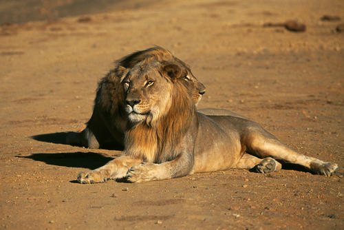 Lions in the Madikwe Game Reserve, South Africa.