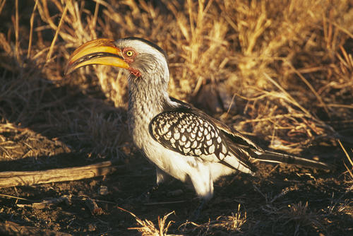 Southern yellow-billed Hornbill in the Madikwe Game Reserve, South Africa.