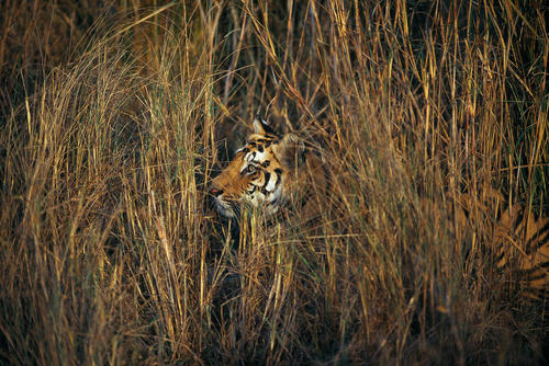 Royal Bengal tiger camouflaged in tall grass in the Bandhavgahr National Park, Madhya Pradesh, India