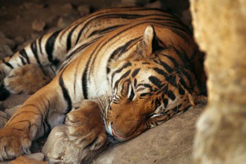 Royal Bengal tiger sleeping in a cave in the Bandhavgahr National Park, Madhya Pradesh.