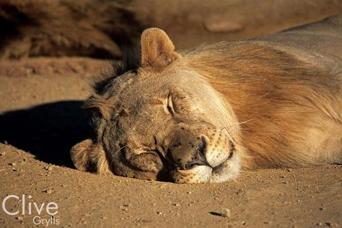 Lion in the Madikwe Game Reserve, South Africa.