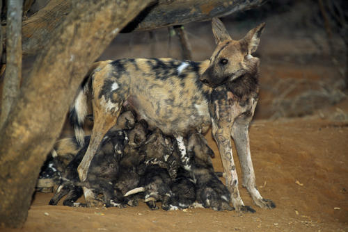 African wild dog bitch sucking her pups outside their den in the Madikwe Game Reserve, South Africa.