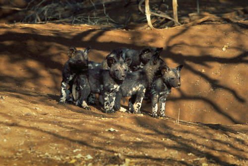 African wild dog pups outside their den in the Madikwe Game Reserve, South Africa.