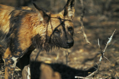 African wild dog in the Madikwe Game Reserve, South Africa.