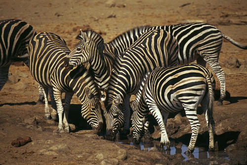 Zebras drinking at a waterhole in the Madikwe Game Reserve, South Africa.