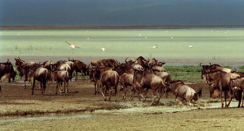 Wildebeest crossing the pans of the Ngorongoro Conservation Area in Tanzania.