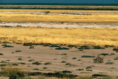 A lone Springbok in the vast wilderness of Etosha National Park, Namibia.