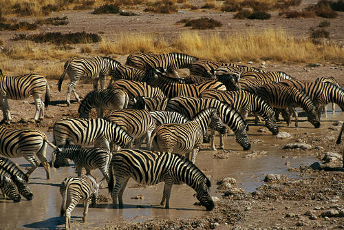 Zebras in the Etosha National Park, Namibia.