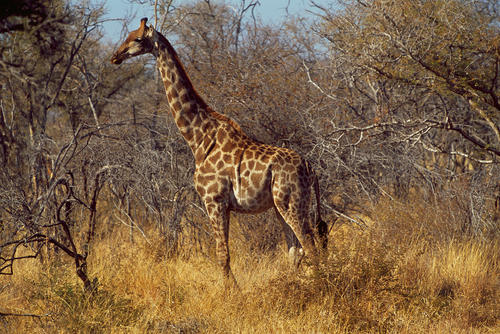 Giraffe in the Madikwe Game Reserve, South Africa.