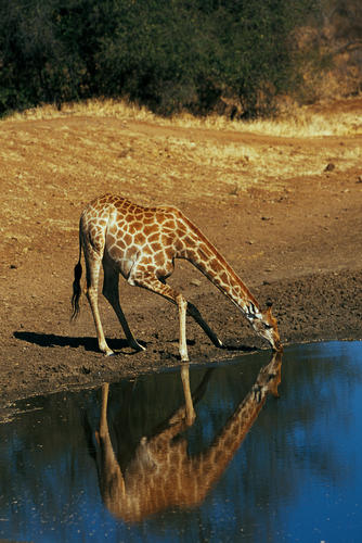 Giraffe drinking at a water hole in the Maasai Mara National Reserve, Kenya.