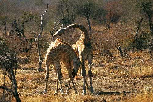 Giraffes necking and fighting over territorial rights in the Madikwe Game Reserve, South Africa.