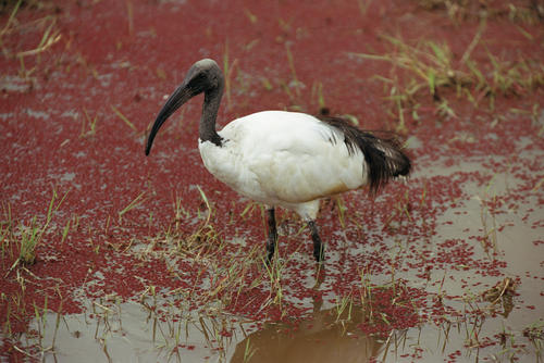 African Sacred Ibis in the Chobe National Park, Botswana.