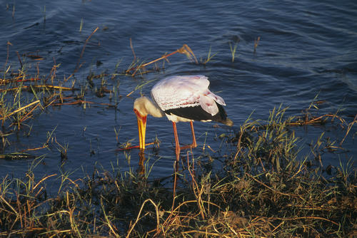 Yellow billed stork in the Chobe national Park, Botswana.