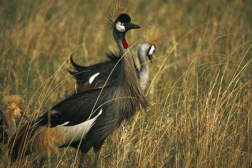 Grey crowned Crane in the Masai Mara National Reserve, Kenya.