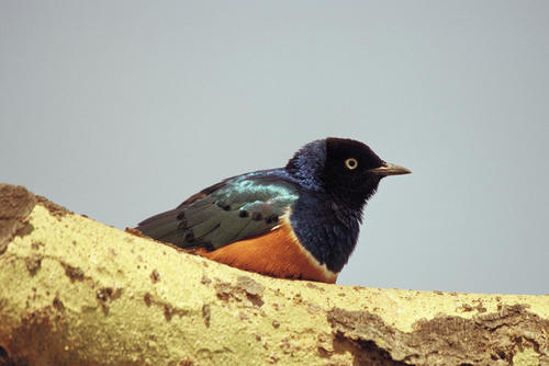 Superb Starling in the Masai Mara National Reserve, Kenya.