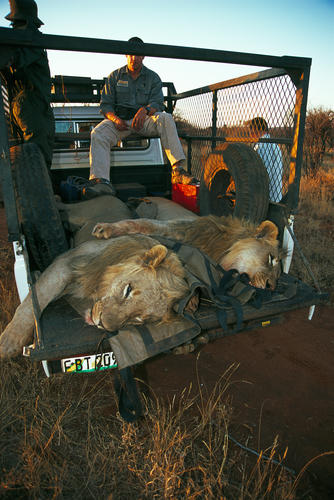 Vets with tranquilized lions in the Madikwe Game Reserve, South Africa.