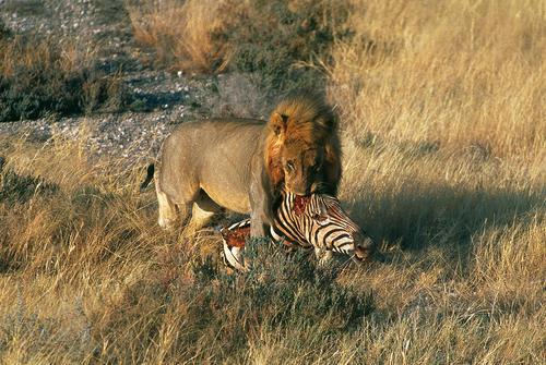 Lion with zebra kill in the Etosha National Park, Namibia.