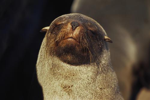 Cape fur seal at Cape Cross, Namibia.