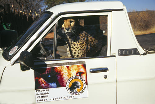 Cheetah sitting in a parked jeep in the Otjitotongwe Cheetah Park, Namibia.