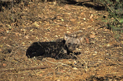 Spotted Hyena pup in the Madikwe Game Reserve, South Africa.