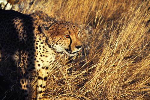 Cheetah stalking game in the Maasai Mara National Reserve, Kenya.