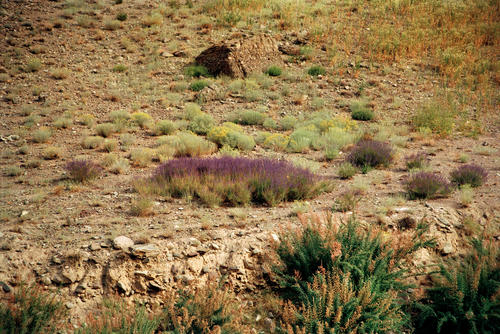 Plant life and ferns adorn the rugged landscape outside the village of Gya, Ladakh.