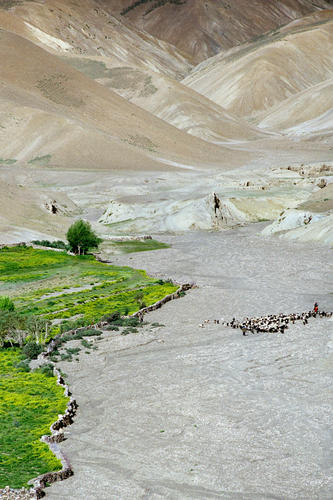 A shepherd leading his goats through the arid wilderness of Ladakh.