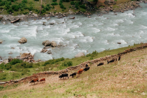 A herdsman driving his cattle alongside the Indus River close to Leh, Ladakh.