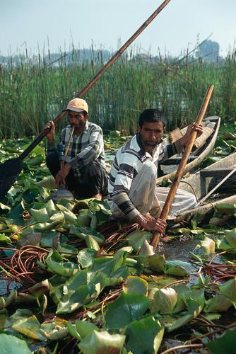 Weed harvesting on Dal Lake, Srinagar, Kashmir.
