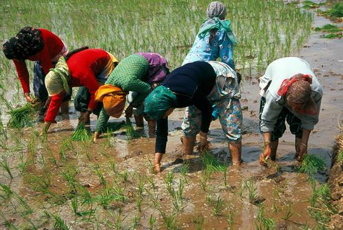 Women planting rice close to Pahalgam, Kashmir.