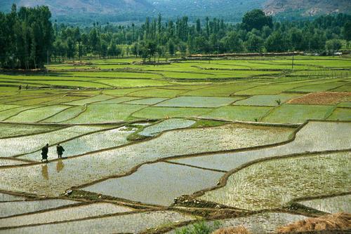 Rice fields close to Pahalgam, Kashmir.
