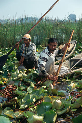 Weed harvesting on Dal Lake, Srinagar, Kashmir.