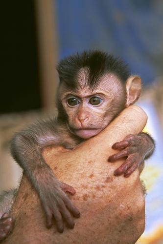 Captive baby macaque in Sen Monorom, Mondulkiri Province, Cambodia.
