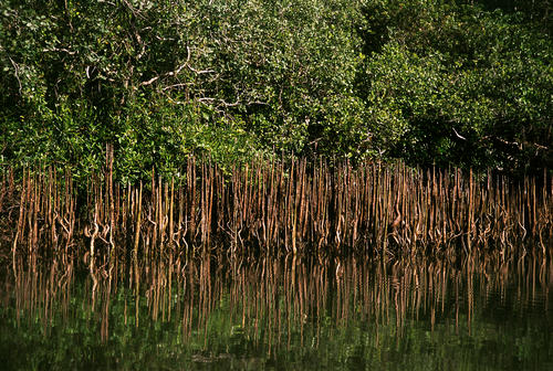 Mangrove jungle along the banks of the Phipot River close to the village of Chi Phat, Koh Kong Province, Cambodia.