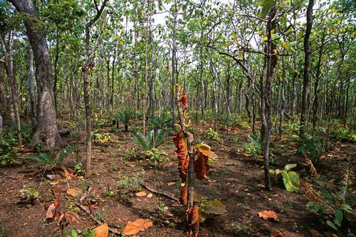 Mekong dry forest ecosystem in the Mondulkiri Protected Forest, Mondulkiri Province, Cambodia.
