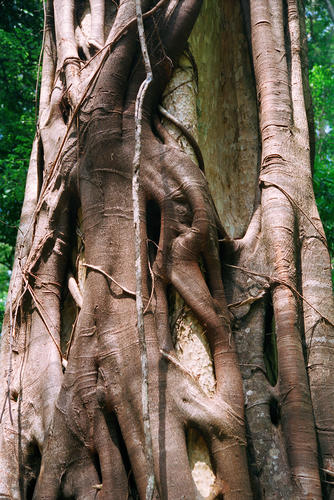 Dipterocarp trees are typical of the evergreen forest found in some parts of Mondulkiri and Ratanakiri provinces, Cambodia.