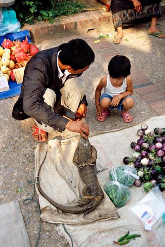 Man and child debating whether to buy a live monitor lizard at the morning market, Luang Prabang.