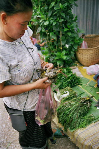 Woman deciding on whether to buy a bird at the morning market, Luang Prabang.